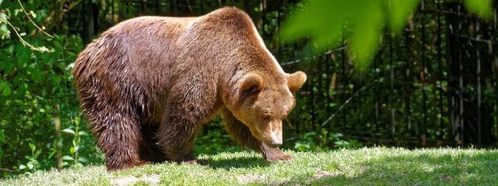 medved-bryanskiy
