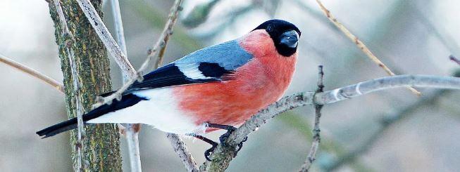 ptici-bryanska